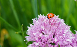 A ladybug on a pink onion chive flower Stock Image