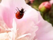 Ladybug on Pione royalty free stock photo