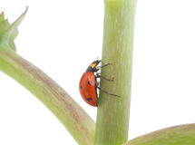 Ladybug on a plant Stock Photos