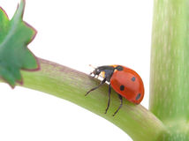 Ladybug on a plant Stock Images