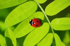 Ladybug on a plant Royalty Free Stock Photos
