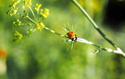 Ladybug on a plant Royalty Free Stock Photo