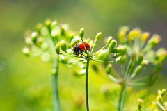 Ladybug on a plant Stock Photography