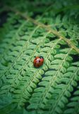 The ladybug in the plant royalty free stock image
