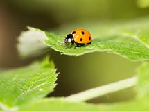 Ladybug on a plant in the nature. macro.  royalty free stock photography
