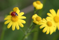 Ladybug playground. Ladybug on a yelow flower Royalty Free Stock Photo
