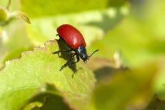 Ladybug without points Royalty Free Stock Photography
