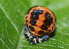 Ladybug pupa Royalty Free Stock Photo