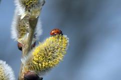 Ladybug - Pussy Willow Stock Photos