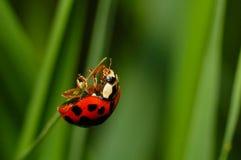 Ladybug quase na parte superior fotos de stock