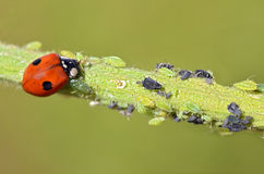 Ladybug que come áfidos Foto de archivo libre de regalías