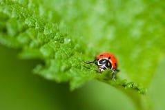 Ladybug que diz o olá! Fotografia de Stock Royalty Free