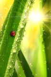 Ladybug que escala uma folha Imagem de Stock