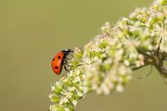 Ladybug que revuelve para alcanzar la tapa Fotos de archivo