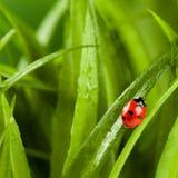 Ladybug que se ejecuta adelante en la lámina de la hierba verde imágenes de archivo libres de regalías