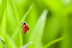 Ladybug que se ejecuta adelante en la lámina de la hierba verde foto de archivo libre de regalías
