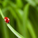 Ladybug que se ejecuta adelante en la lámina de la hierba verde fotografía de archivo libre de regalías