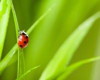 Ladybug que se ejecuta adelante en la lámina de la hierba verde imagen de archivo