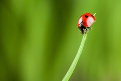 Ladybug que se ejecuta adelante en la lámina de la hierba verde imagenes de archivo