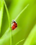 Ladybug que se ejecuta adelante en la lámina de la hierba verde fotos de archivo