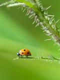 Ladybug que se sienta en la hoja de un cardo Foto de archivo