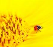 Ladybug que se sienta en un girasol imagenes de archivo