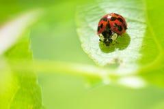 Ladybug que se sienta en un pasto verde Imagen de archivo