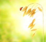 Ladybug que se sienta en una hierba del trigo Imágenes de archivo libres de regalías
