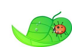 Ladybug que senta-se em uma folha envolvida verde. Foto de Stock