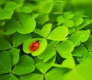 Ladybug que senta-se na folha do trevo Imagens de Stock Royalty Free