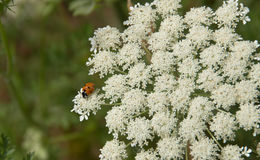 Ladybug on Queen Anne's Lace closeup. A closeup of bright ladybug on a massive bunch of Queen Anne's Lace flowers against blurred background Horizontal Royalty Free Stock Images