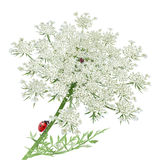 Ladybug on Queen Anne's Lace Royalty Free Stock Images