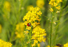 Ladybug on the rapeseed Stock Images