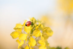 Ladybug and Rapeseed in Spring. stock photo