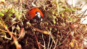 Ladybug. Red beetle in the shallow grass. A microcosm of insects. The big increase. Insects underfoot. A bug in the grass Royalty Free Stock Photo