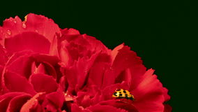 Ladybug on Red Carnation. A single ladybug explores a red carnation stock video