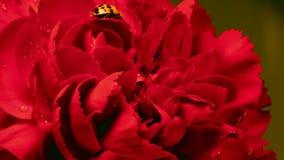 Ladybug on Red Carnation. A single ladybug explores a red carnation stock footage