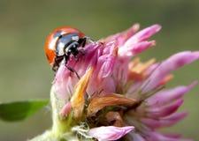Ladybug. Red ladybug on a clover flower Stock Image