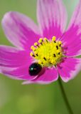 Ladybug and Red Cosmos Stock Photography