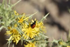 Ladybug on a flower sipping pollen royalty free stock photography