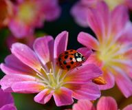 LADYBUG. Red insect climbing on a bloom Stock Images