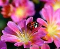 LADYBUG. RED INSECT CLIMBING ON FLOWERS Royalty Free Stock Photos