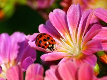 Ladybug on pink flower. Close up of red and black spotted ladybug on pink flower in sunny garden Royalty Free Stock Images