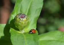 Ladybug3. Red ladybug placed on the green leaf of the flower Stock Photos