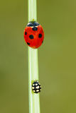 Ladybug. A red ladybug(scientific name:Coccinella septempunctata) and a black ladybug are on the grass leaf Royalty Free Stock Photo