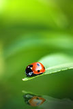 Ladybug reflection Royalty Free Stock Photography