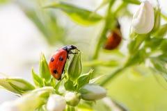 Ladybug resting on flower, Stock Photography
