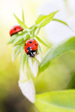 Ladybug resting on flower,. Early evening sunlight and bright colors Stock Photos