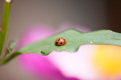 Ladybug. A ladybug rests on the leaf Stock Photos