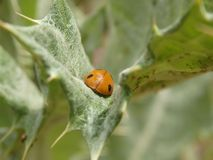 A Ladybug Rests on a Leaf Stock Images